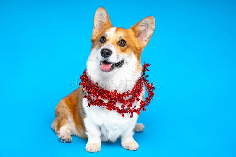 Welsh Corgi New Year`s outfit. Fluffy dog adorned with winter decorations royalty free stock image
