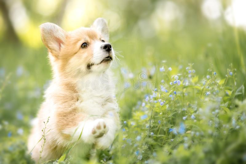 Welsh corgi pembroke puppy in autumn or summer flowers royalty free stock photo