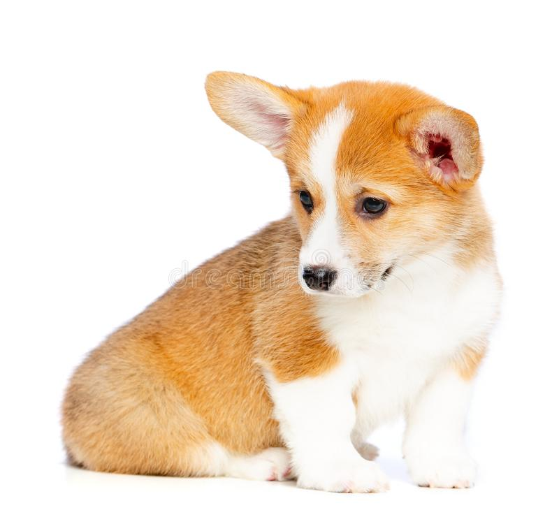 Welsh Corgi Pembroke Puppy Dog Isolated on Black Background stock images
