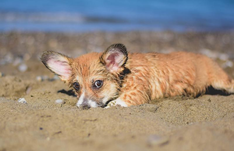 Welsh corgi pembroke puppy playing in the sand on the beach royalty free stock images