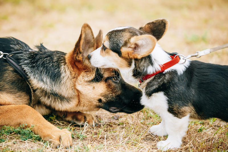 Welsh Corgi puppy and German Shepherd Dog puppy stock photo