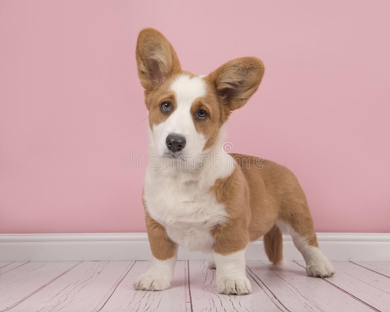 Welsh Corgi Puppy Standing In A Pink Living Room Setting Stock Image ...