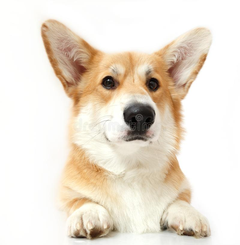 Welsh Corgi on the studio in the white background, stock images