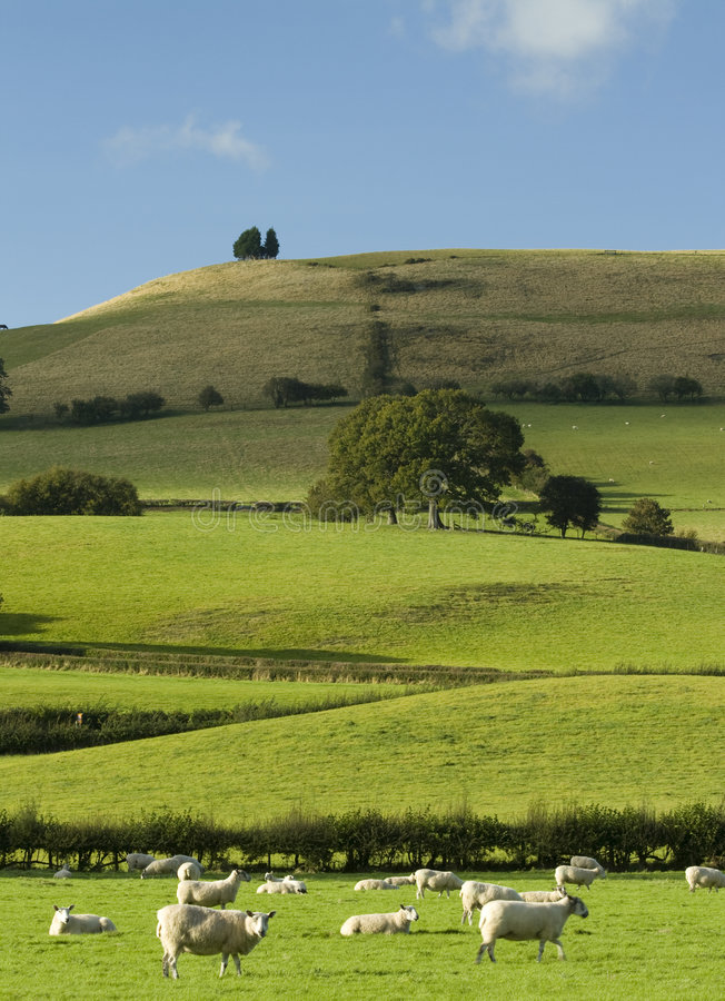 Welsh Hillside. A peaceful Wesh hillside in early summer with grazing sheep royalty free stock photo