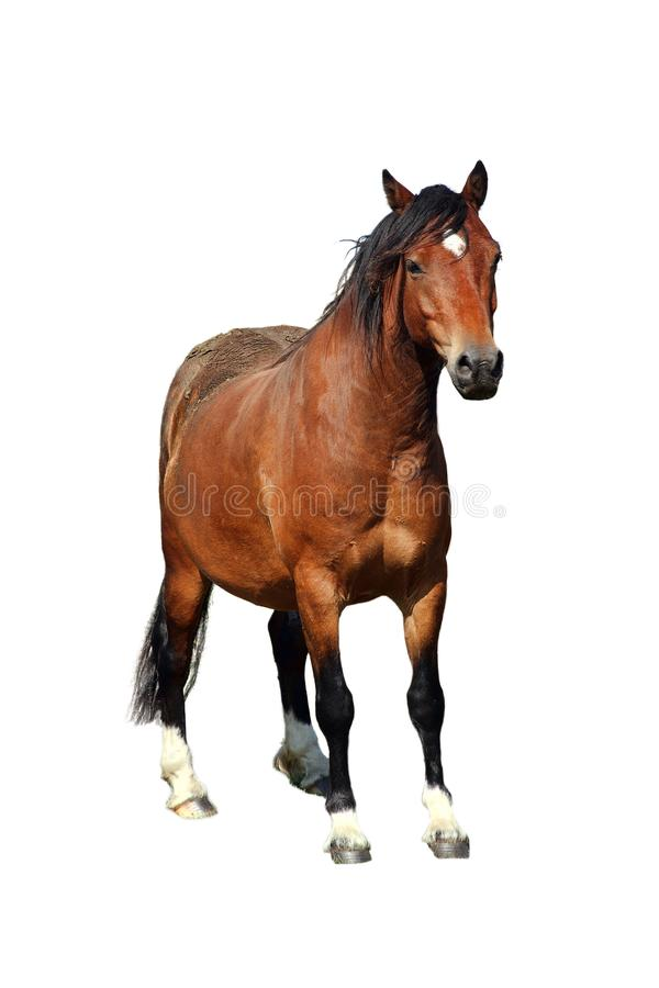 Welsh horse Cob Pony. On the Brecon Beacons cut out and isolated on a white background royalty free stock images
