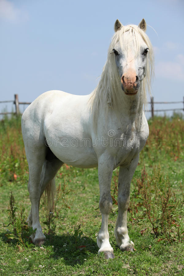 Download Welsh Mountain Pony Stallion Looking At You Stock Photo - Image of color, horse: 31076978