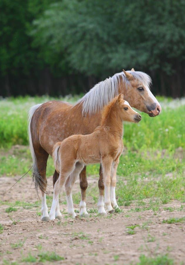 Download Welsh ponies stock image. Image of grass, halter, foal - 19978653