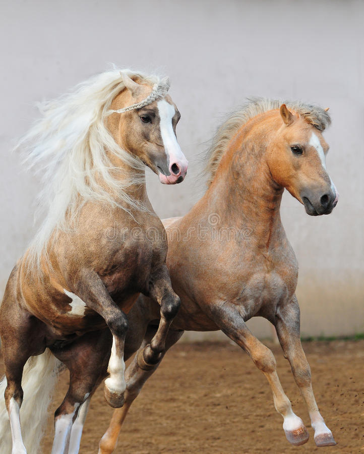Download Welsh ponies fighting stock image. Image of rearing, farming - 20088341