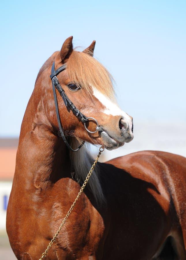 Welsh Pony royalty free stock image