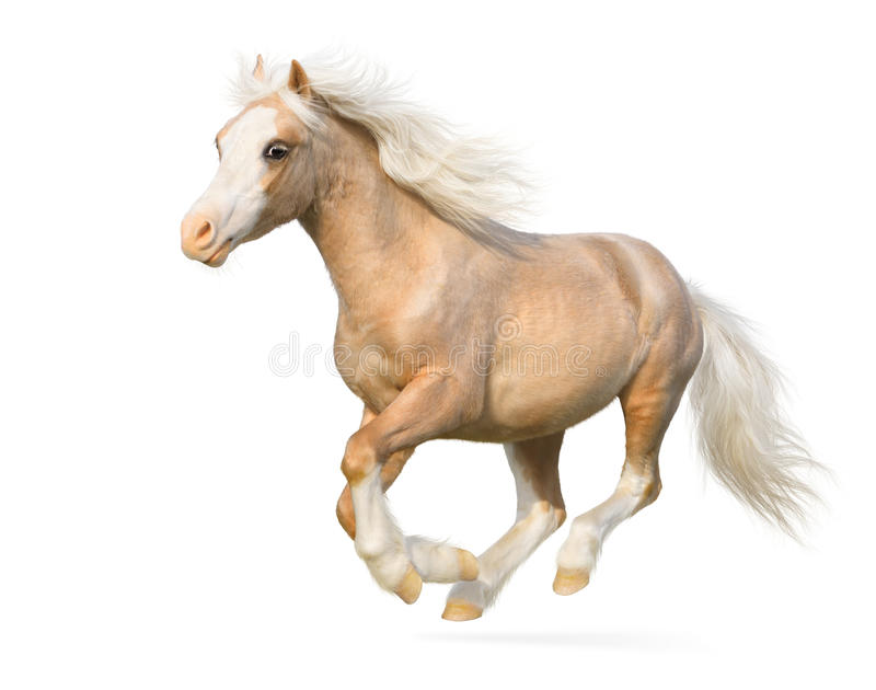Welsh pony gallops royalty free stock image