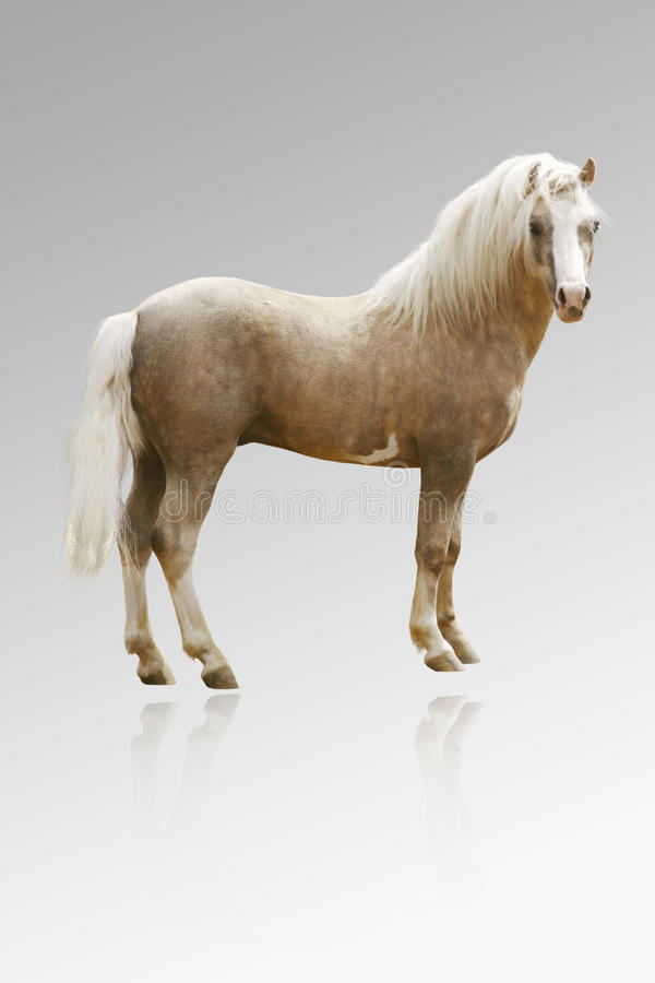 Welsh pony isolated on grey stock images