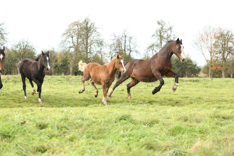 Download Welsh Pony Mares With Foals Running Stock Photo - Image: 30415392