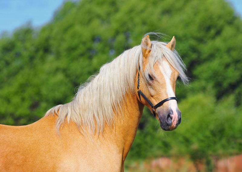 Welsh Pony Portrait Stock Photos