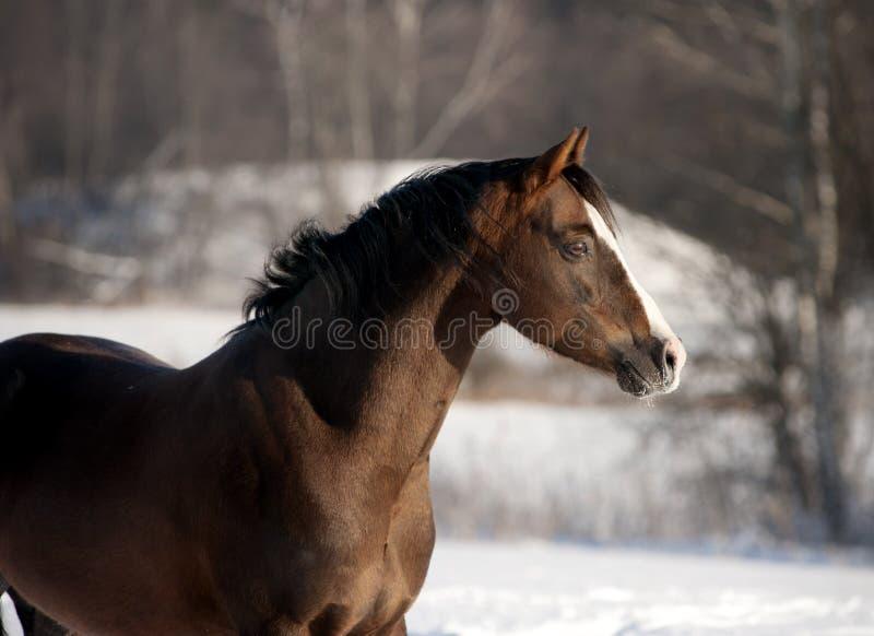 Download Welsh pony portrait stock image. Image of stallion, domestic - 23137101