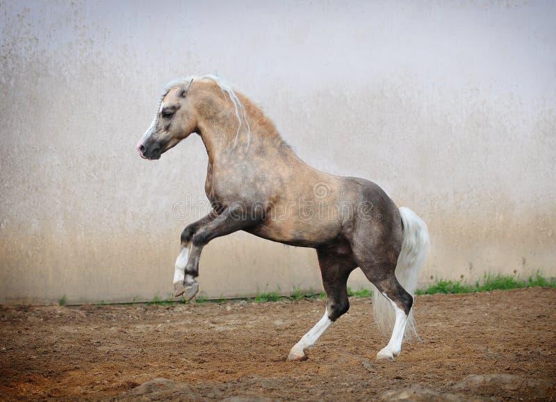 Welsh Pony Rears Stock Photography