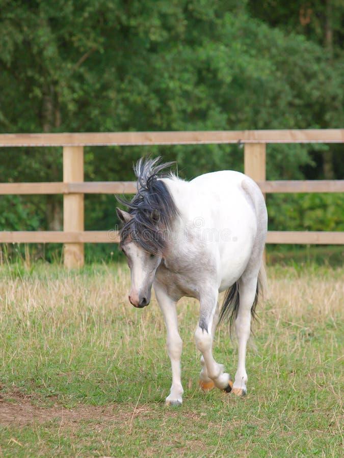 Welsh Pony Trotting stock photos