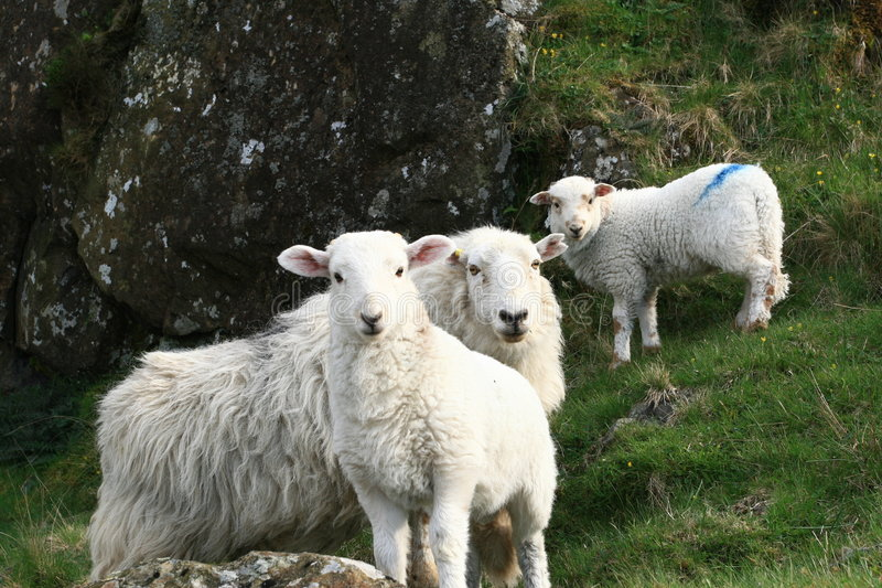 Welsh sheeps royalty free stock photo