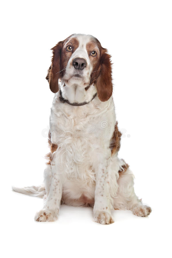 Welsh Springer Spaniel. In front of a white background royalty free stock image