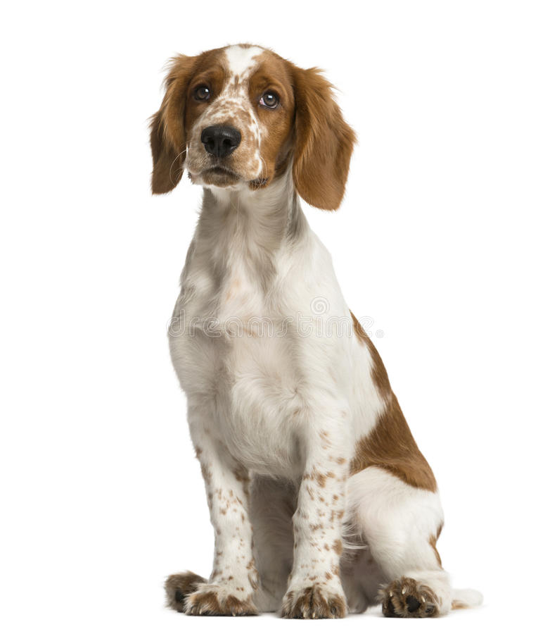 Welsh Springer Spaniel sitting. In front of a white background royalty free stock photos