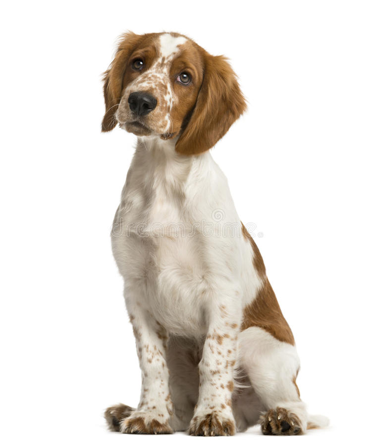 Welsh Springer Spaniel sitting. In front of a white background royalty free stock photography