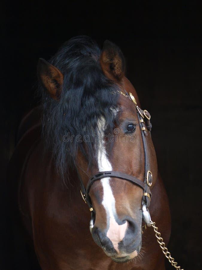 Welsh Stallion Against Black Background royalty free stock photos