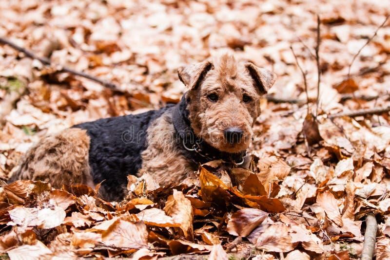 Welsh terrier immagine stock