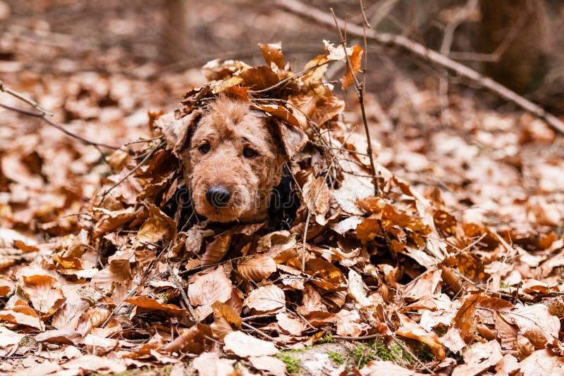 Welsh terrier fotografia stock
