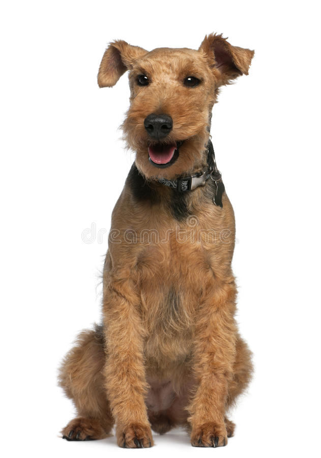 Welsh Terrier, 6 Years Old, Sitting Royalty Free Stock Photos