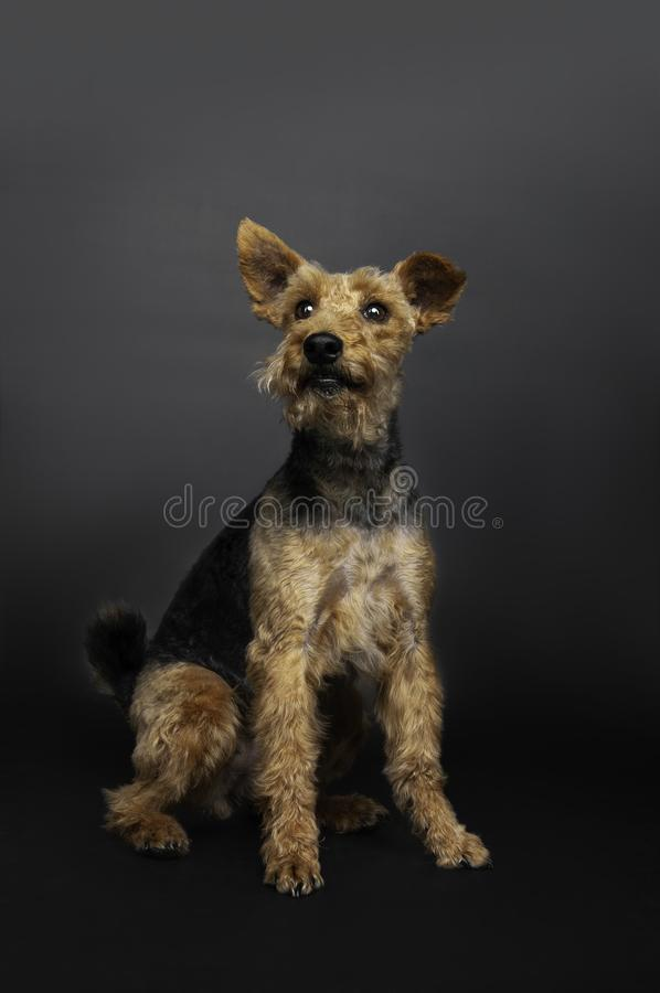 Welsh terrier dog is sitting on the floor isolated in black background stock photo