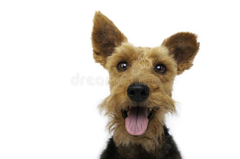 Welsh terrier dog is smiling on white background. Dogs, pet, pets, aminal, animals, cute, nice, good, gos, god, cutie, doggy, welshterrier, ads, advertisement stock photography