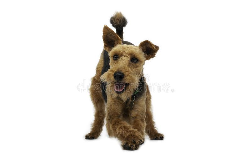 Welsh terrier dog is standing with crossed legs  on white background royalty free stock photo