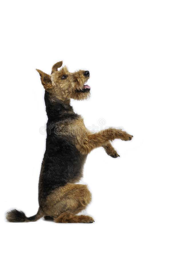Welsh terrier dog is standing in a pose on white background royalty free stock photo