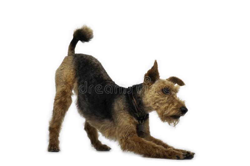 Welsh terrier dog is standing in a pose on white background. Welsh terrier dog is smiling on white background, dogs, pet, pets, aminal, animals, cute, nice royalty free stock photo