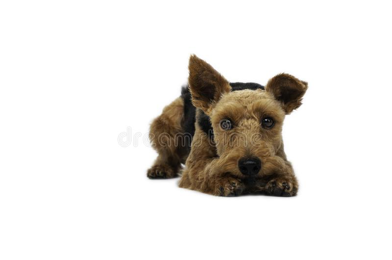 Welsh terrier lying on white background stock photography