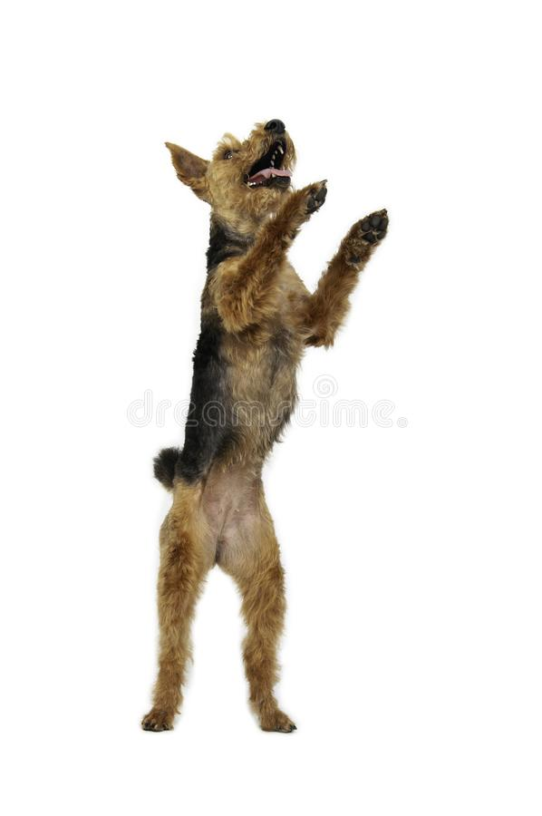 Welsh terrier standing in white background like a human stock photography
