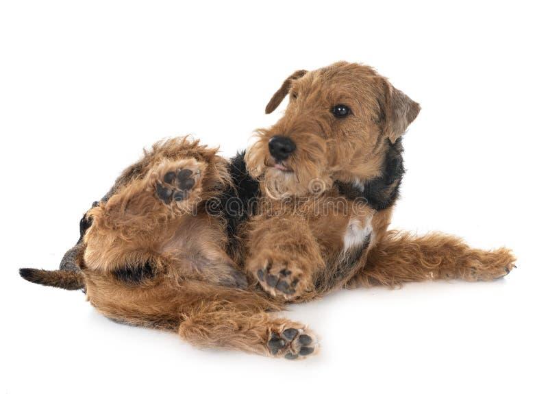 Welsh terrier in studio royalty free stock photo
