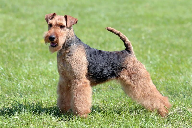 Welsh terrier tipico immagini stock libere da diritti