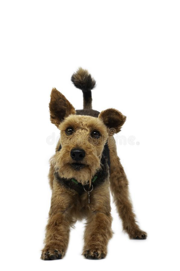 Welsh terrier on white background stock images