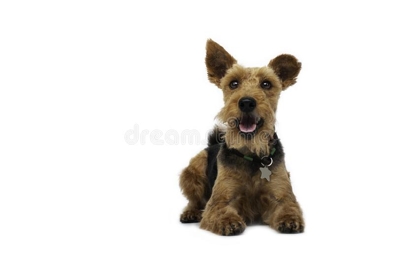 Welsh terrier lying on white background royalty free stock photography