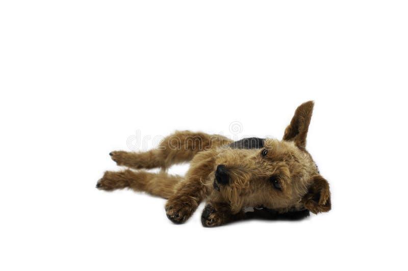Welsh terrier on white background stock image