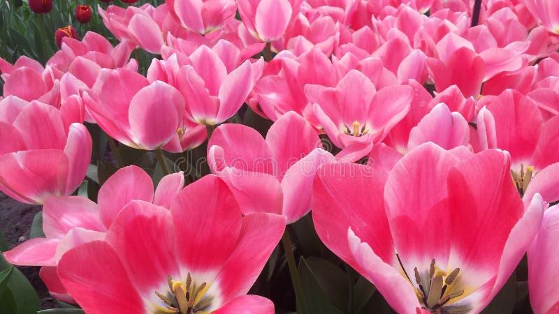 Welt von Tulpen stockbild