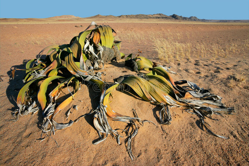 welwitschia ερήμων namib στοκ εικόνες