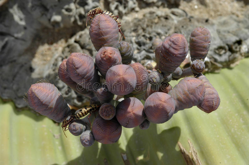 Welwitschia Mirabilis Plant Stock Photo