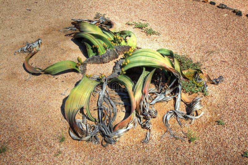 Welwitschia plant in Namibian desert stock images