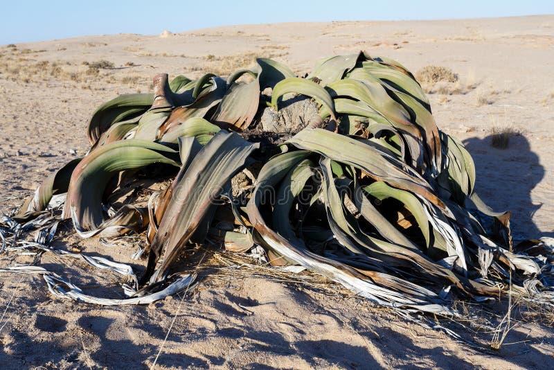Welwitschiamirabilis, Verbazende woestijninstallatie, het leven fossiel stock afbeelding