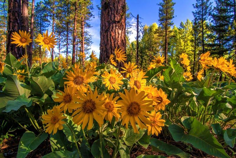 Wenatchee Nationaal Bos, Washington State stock afbeelding
