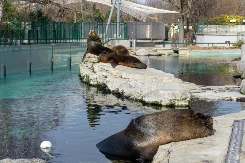 Wenen, Oostenrijk - 25 Februari 2019: De zeeleeuwen liggen en zonnebaden in de zon bij de Dierentuin van Wenen Schonbrunn stock afbeeldingen