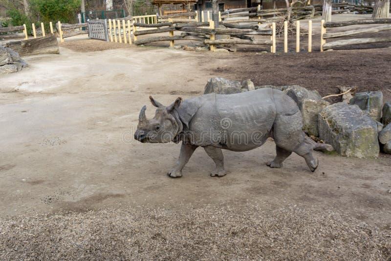 Wenen, Oostenrijk - 25 Februari: Grote en sterke Rinoceros in de dierentuin van Wenen Schonbrunn stock afbeelding