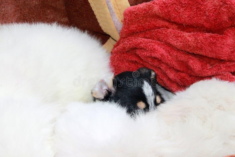 Wenig Appenzeller Sennenhund-Welpe wird in einer Decke an einem Freiluftmarkt in Zakopane versteckt stockbilder