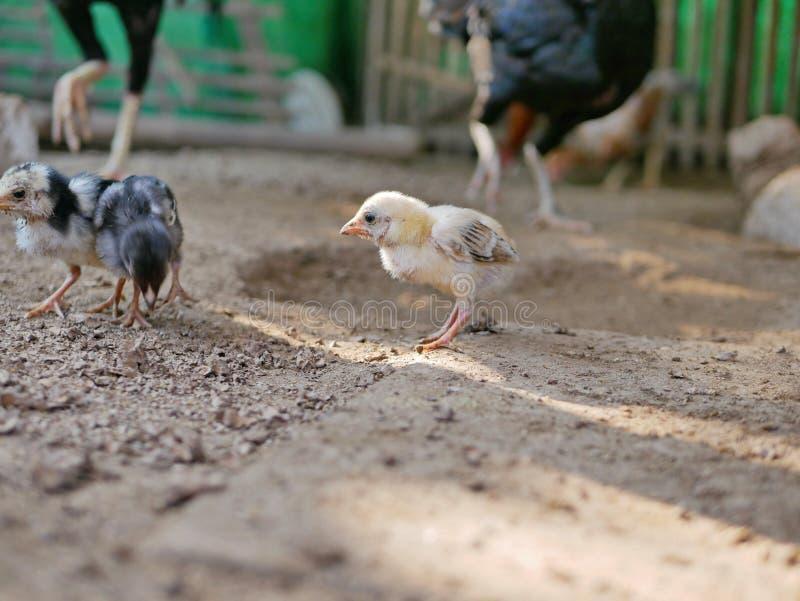 Wenig Babyküken in einem Hühnerstall in einer Geflügelfarm in einem ländlichen Gebiet in Thailand stockfotos